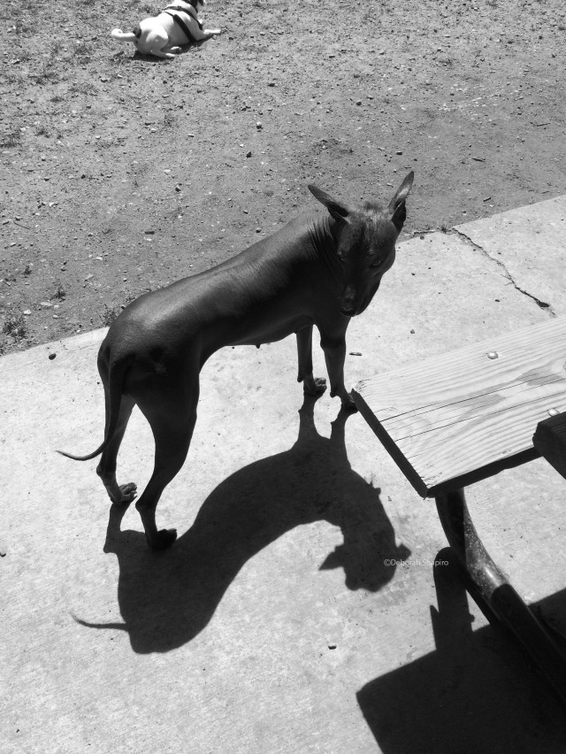 Mexican Hairless and its shadow