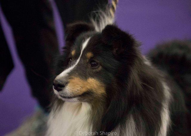 Shetland Sheepdog waiting to compete