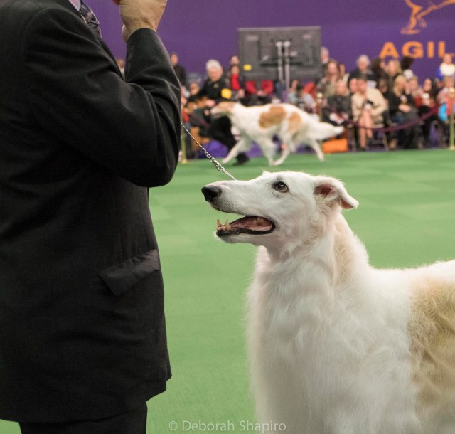 Borzoi competition