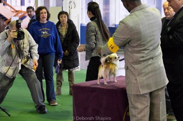 Champion Chihuahua (Big Fuss, Little Dog)
