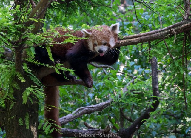 Red Panda in the Central Park Zoo