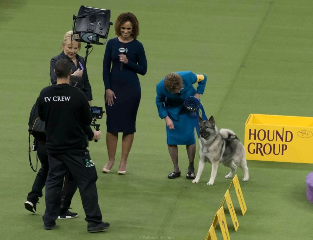 Norwegian Elkhound wins Best in Group, protects handler from TV crew